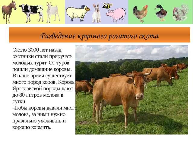 Разведение крупного рогатого скота Около 3000 лет назад охотники стали приру...