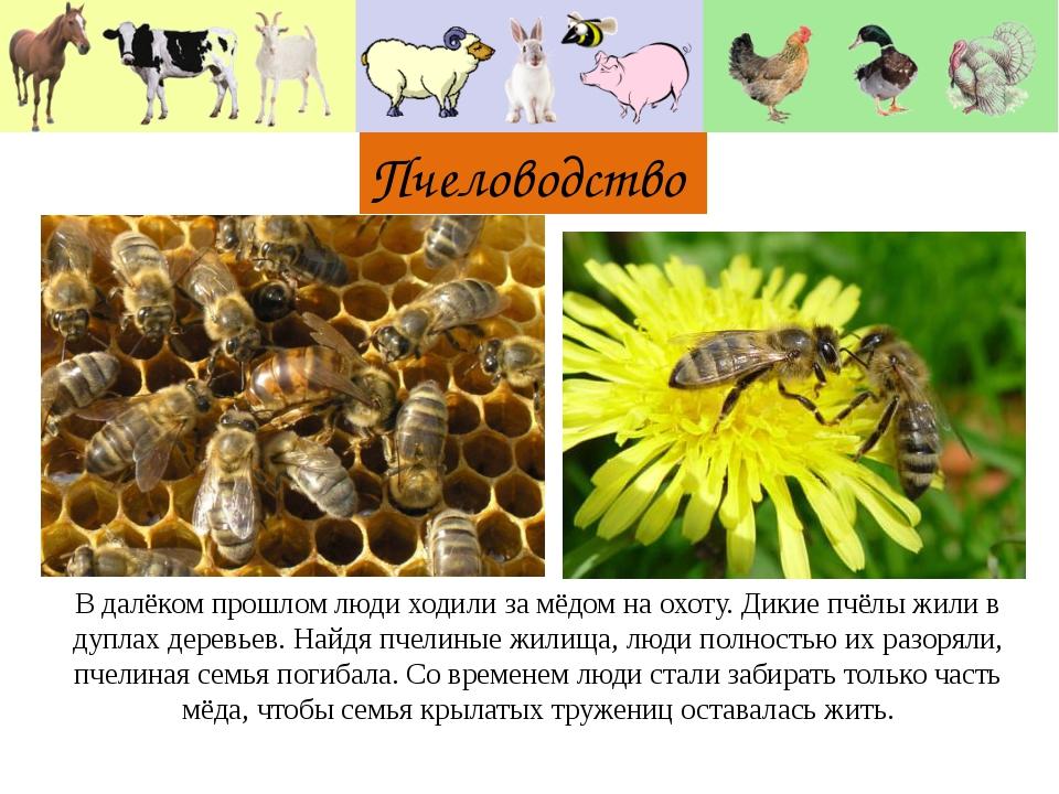 Пчеловодство В далёком прошлом люди ходили за мёдом на охоту. Дикие пчёлы жи...
