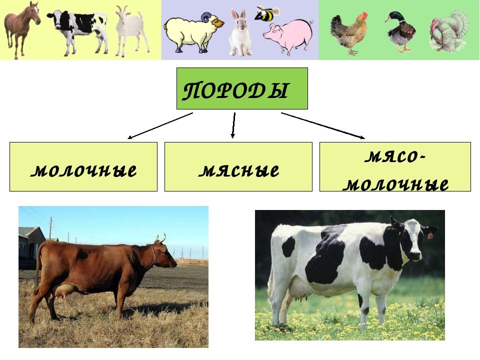 ПОРОДЫ молочные мясные мясо- молочные