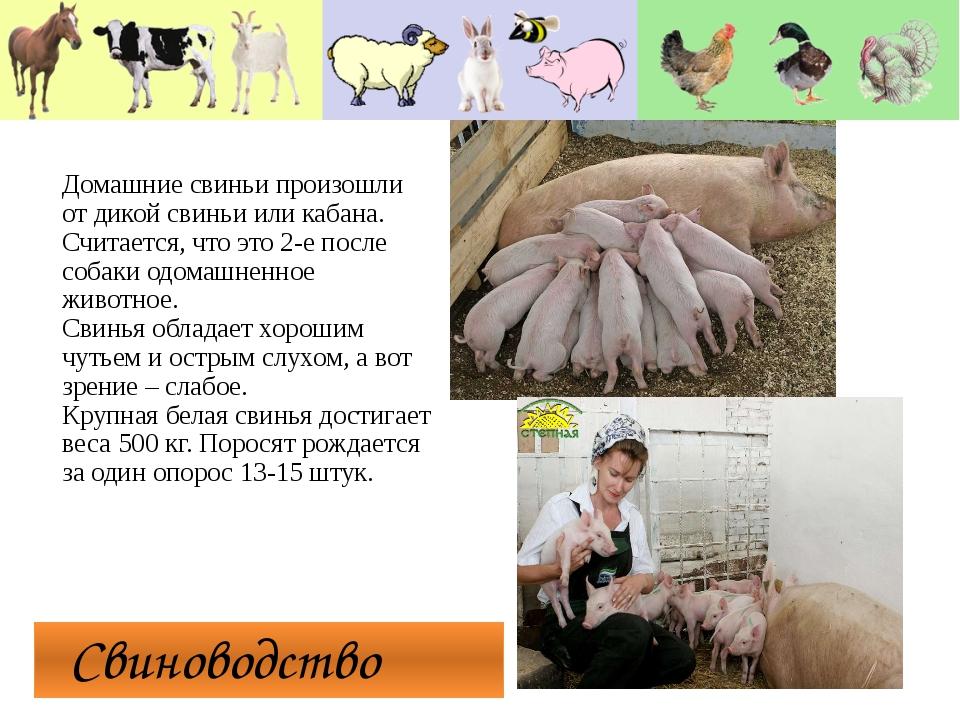 Свиноводство Домашние свиньи произошли от дикой свиньи или кабана. Считается...