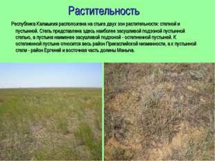Растительность Республика Калмыкия расположена на стыке двух зон растительнос