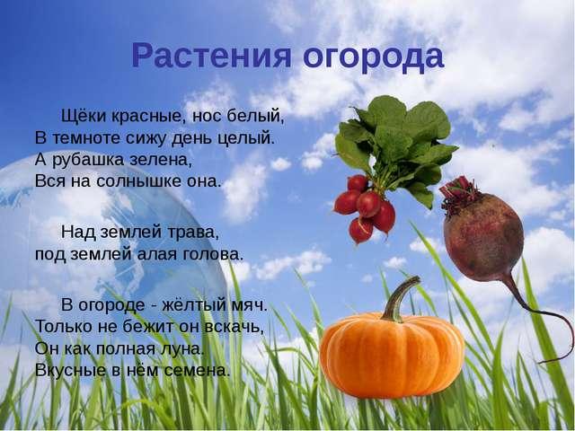Растения огорода Щёки красные, нос белый, В темноте сижу день целый. А рубаш...