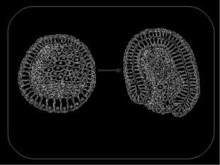 Сущность процесса гаструляции заключается в перемещении клеточных масс. Появл