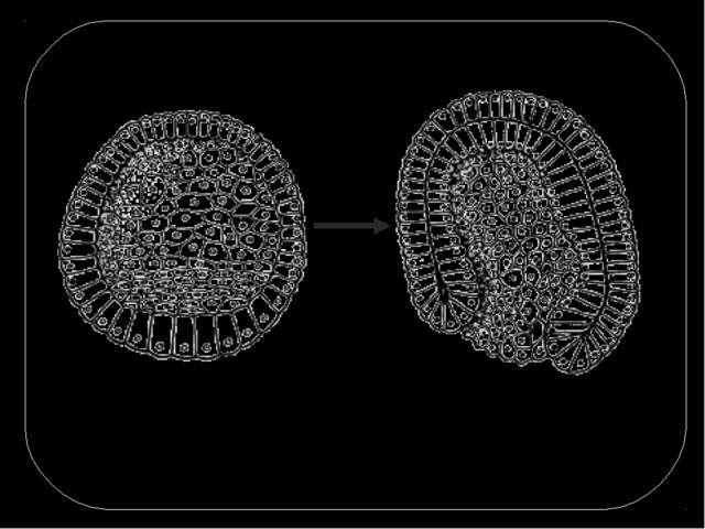 Сущность процесса гаструляции заключается в перемещении клеточных масс. Появл...