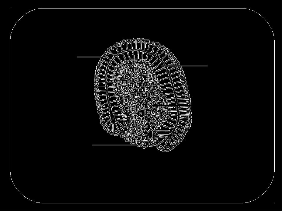 Зародыш на этой стадии состоит из отчетливо различимых пластов клеток – зарод...