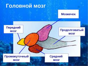 Головной мозг Передний мозг Промежуточный мозг Мозжечок Средний мозг Продолго