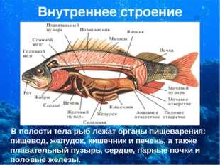 Внутреннее строение В полости тела рыб лежат органы пищеварения: пищевод, жел