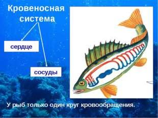 Кровеносная система сердце сосуды У рыб только один круг кровообращения.