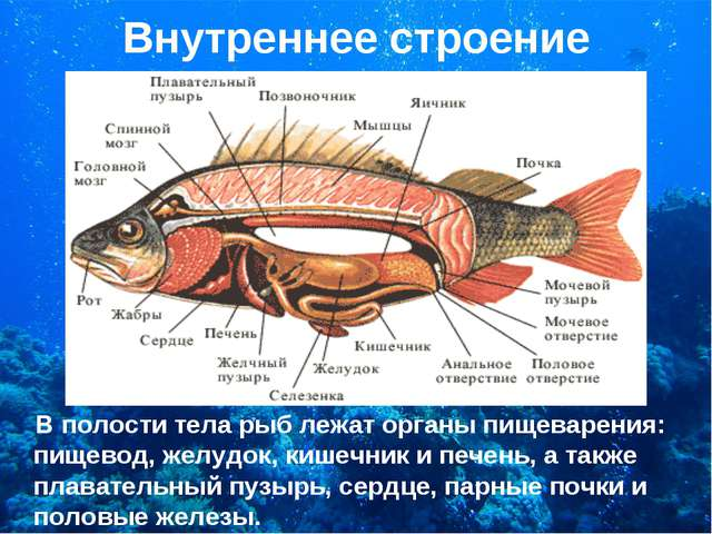 Внутреннее строение В полости тела рыб лежат органы пищеварения: пищевод, жел...
