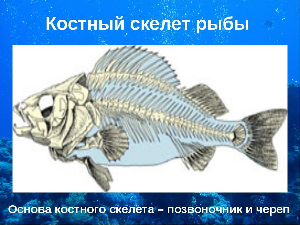 Костный скелет рыбы Основа костного скелета – позвоночник и череп