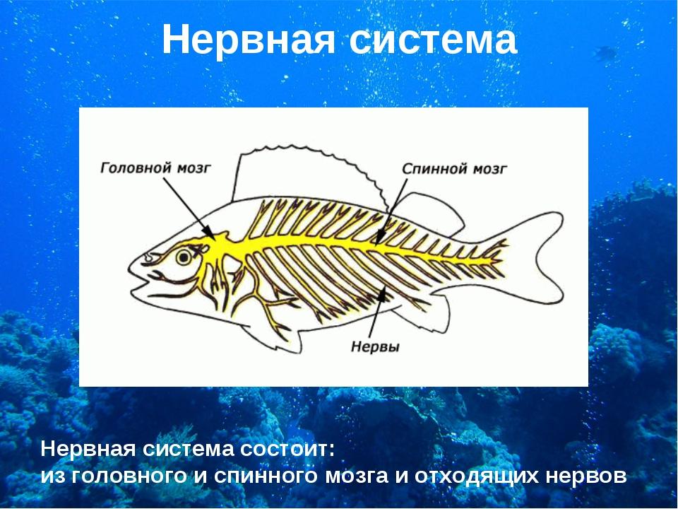 Нервная система Нервная система состоит: из головного и спинного мозга и отхо...
