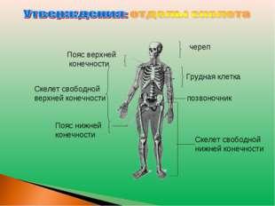череп Пояс верхней конечности Скелет свободной нижней конечности Скелет свобо