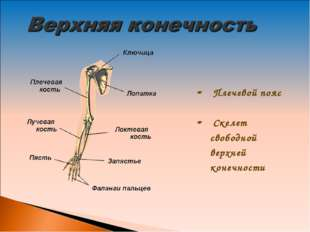 Плечевой пояс Скелет свободной верхней конечности