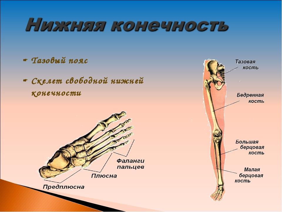 Тазовый пояс Скелет свободной нижней конечности