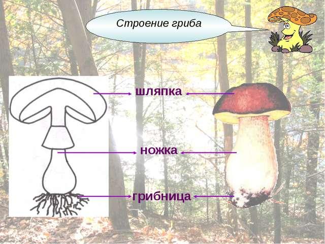 шляпка ножка грибница Строение гриба