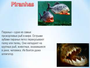 Пираньи – одни из самых прожорливых рыб в мире. Острыми зубами пираньи легко
