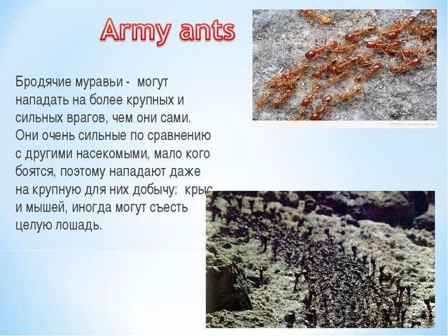 Бродячие муравьи - могут нападать на более крупных и сильных врагов, чем они...