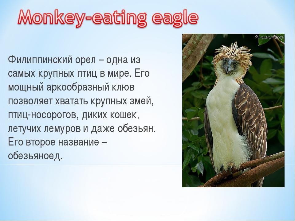Филиппинский орел – одна из самых крупных птиц в мире. Его мощный аркообразны...