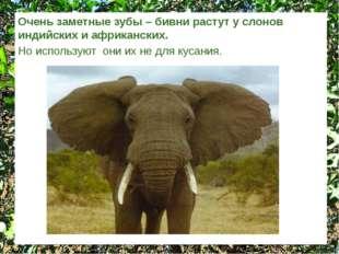Очень заметные зубы – бивни растут у слонов индийских и африканских. Но испол