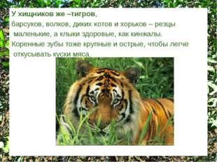 У хищников же –тигров, барсуков, волков, диких котов и хорьков – резцы малень