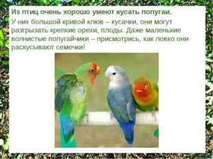Из птиц очень хорошо умеют кусать попугаи. У них большой кривой клюв – кусачк
