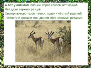 А вот у антилоп, оленей, коров совсем нет клыков. Нет даже верхних резцов. Он