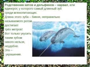 Родственник китов и дельфинов – нарвал, или единорог, у которого самый длинны