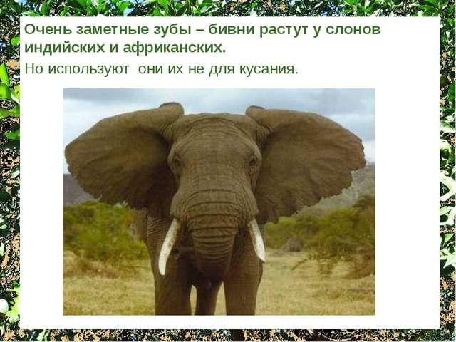 Очень заметные зубы – бивни растут у слонов индийских и африканских. Но испол...