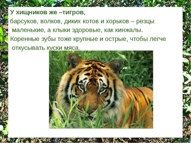 У хищников же –тигров, барсуков, волков, диких котов и хорьков – резцы малень...