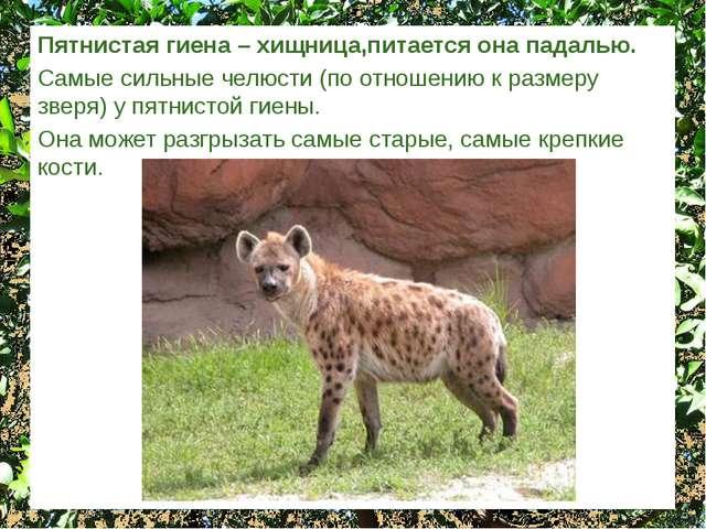 Пятнистая гиена – хищница,питается она падалью. Самые сильные челюсти (по отн...