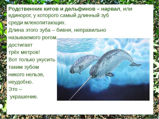 Родственник китов и дельфинов – нарвал, или единорог, у которого самый длинны...