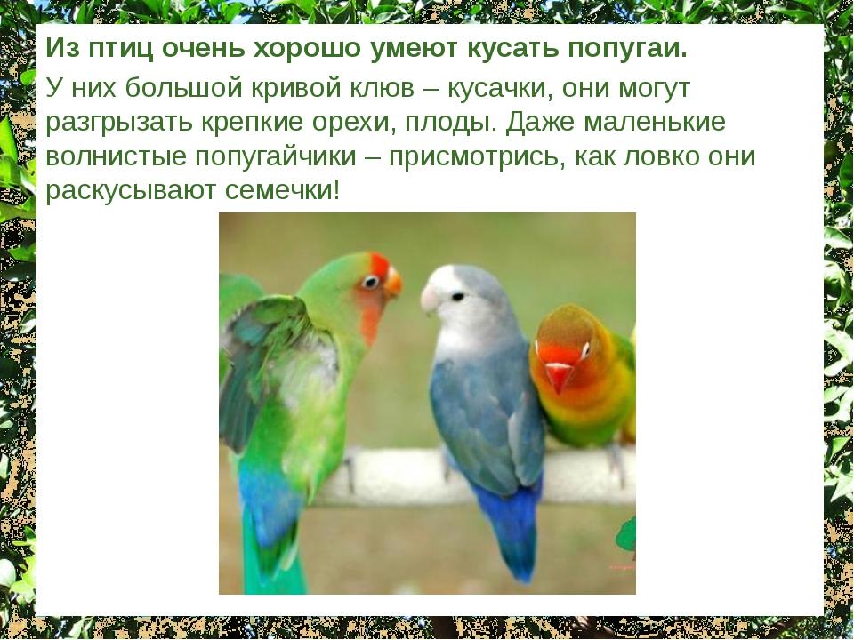 Из птиц очень хорошо умеют кусать попугаи. У них большой кривой клюв – кусачк...