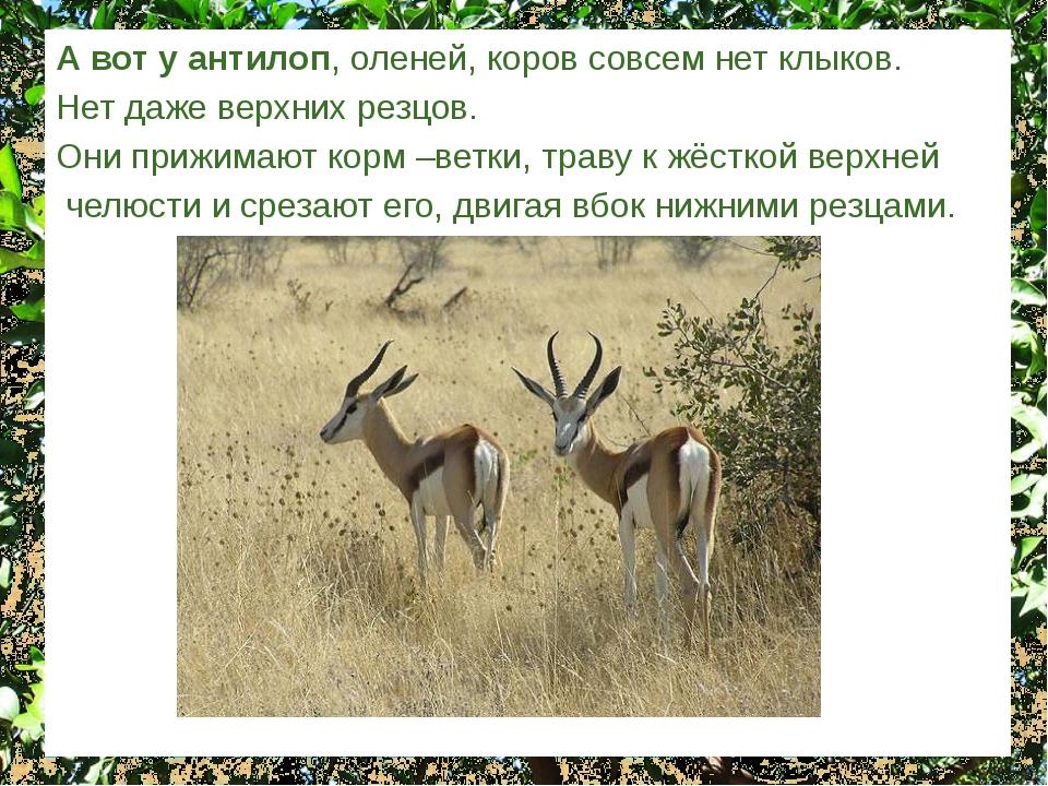 А вот у антилоп, оленей, коров совсем нет клыков. Нет даже верхних резцов. Он...