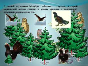 . В лесной глухомани Мещёры обитают глухари, а сырой мартовской ночью слышит
