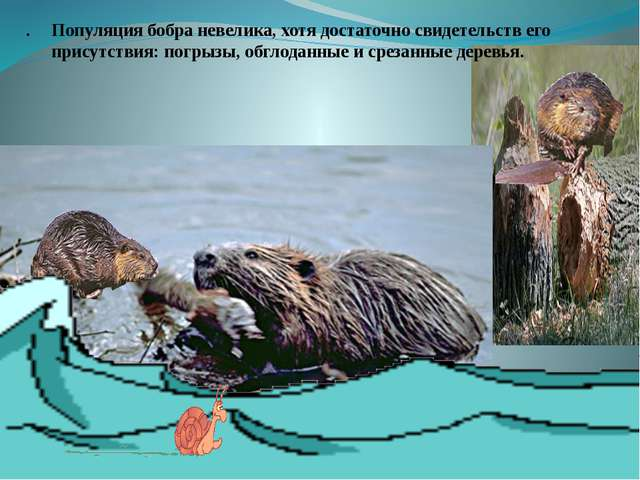 . . Популяция бобра невелика, хотя достаточно свидетельств его присутствия:...