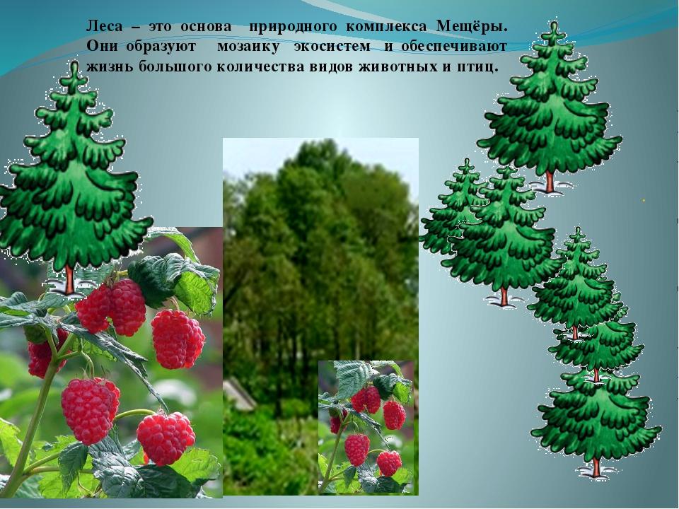 . Леса – это основа природного комплекса Мещёры. Они образуют мозаику экосис...