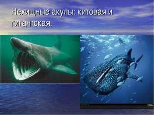 Нехищные акулы: китовая и гигантская.