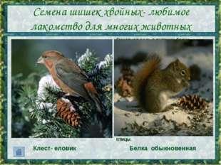 Семена шишек хвойных- любимое лакомство для многих животных Основная роль в п