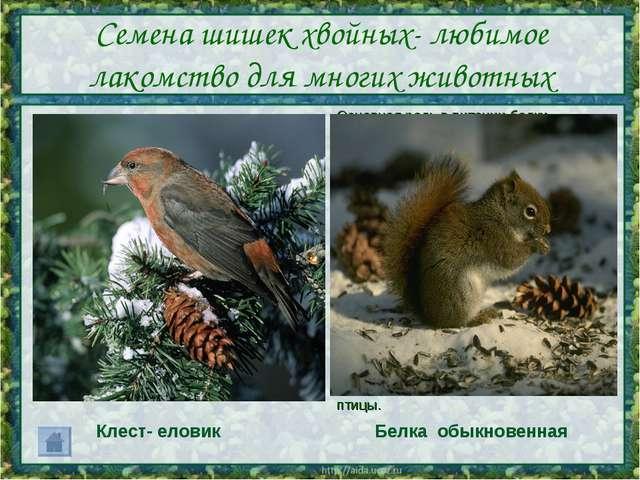 Семена шишек хвойных- любимое лакомство для многих животных Основная роль в п...