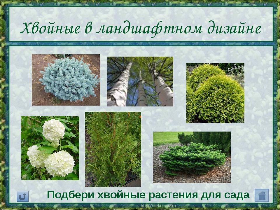 Хвойные в ландшафтном дизайне Подбери хвойные растения для сада