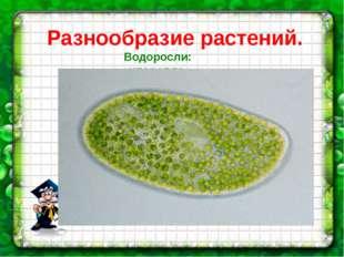 Разнообразие растений. Водоросли: хлорелла