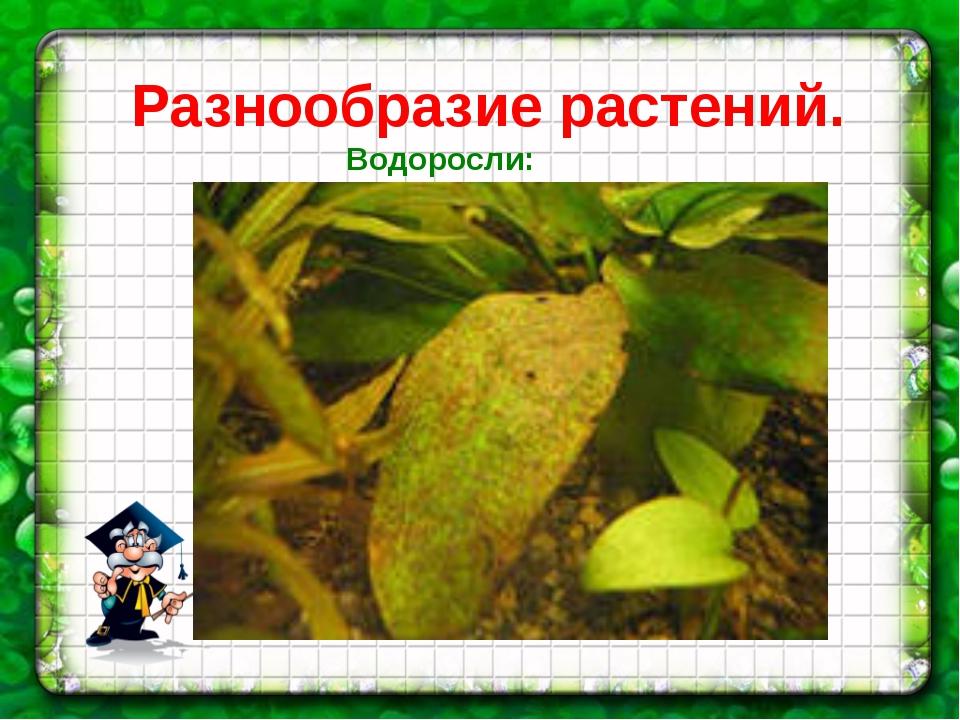 Разнообразие растений. Водоросли: диатомея