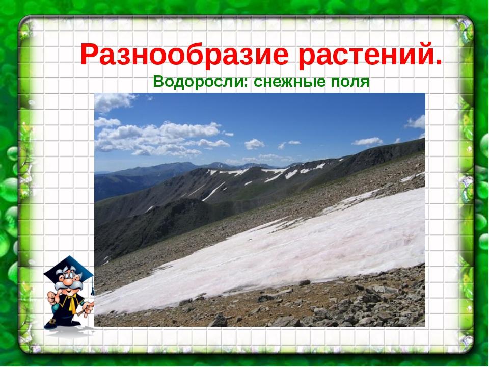 Разнообразие растений. Водоросли: снежные поля Гренландии