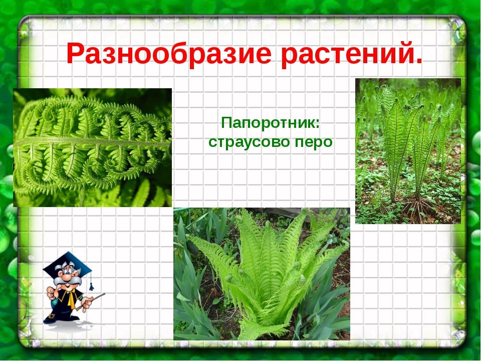 Разнообразие растений. Папоротник: страусово перо