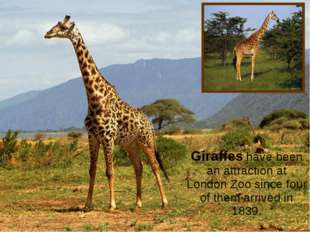 * Giraffes have been an attraction at London Zoo since four of them arrived i