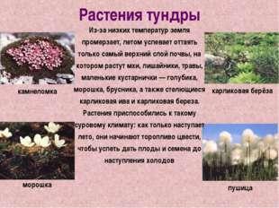 Растения тундры Из-за низких температур земля промерзает, летом успевает отта