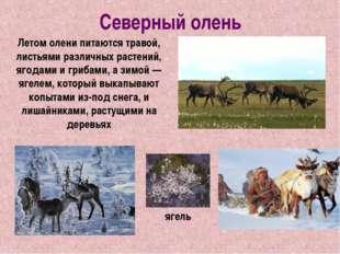 Северный олень Летом олени питаются травой, листьями различных растений, ягод