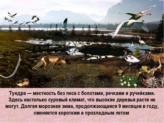 Тундра — местность без леса с болотами, речками и ручейками. Здесь настолько...