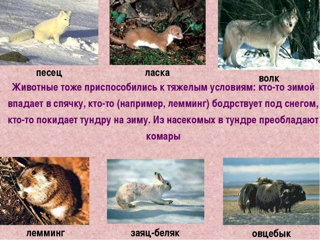 Животные тоже приспособились к тяжелым условиям: кто-то зимой впадает в спячк...
