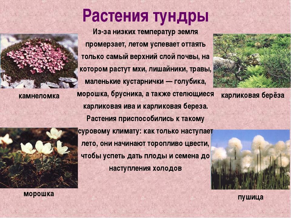 Растения тундры Из-за низких температур земля промерзает, летом успевает отта...